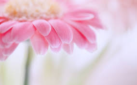 Blue Flower Wallpaper, Pink Rose Wallpaper