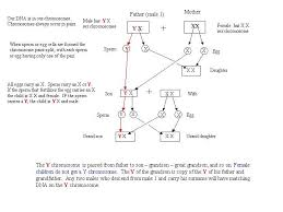 Understanding Y Chromosome Transferrance In Chart Form