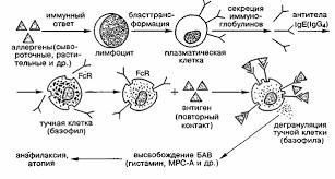 РЕФЕРАТ На тему Аллергия виды и механизмы сенсибилизации при  Виды и механизмы сенсибилизации при аллергии