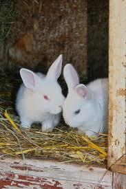 Billedresultat for witte konijnen