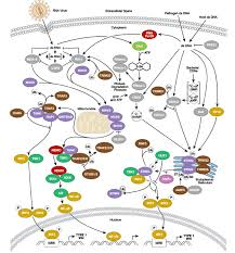 Overview Of Immunology Cell Signaling Technology