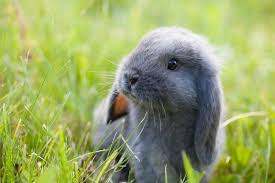 cute baby bunnies with floppy ears. Fine Cute Model Cute Baby Lop Eared Rabbit Intended Cute Baby Bunnies With Floppy Ears L