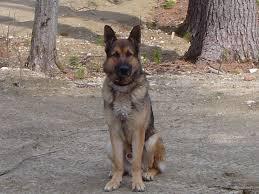 beautiful short haired german shepherd