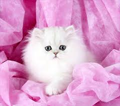 teacup persian cat.  Persian Teacup Persian Kitten From Doll Face Kittens With Cat