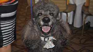 dogs strut in fashion show for florida poodle rescue story fox 13 ta bay