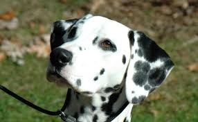 What Are The Best Dog Foods For Dalmatians