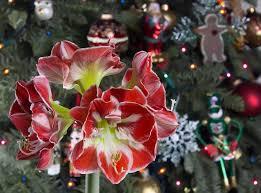 Weihnachtsstern Eibe Amaryllis Diese Adventlichen