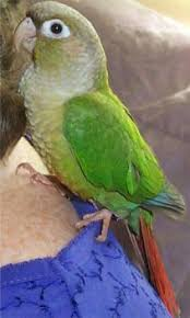 The Green Cheek Conure Homepage