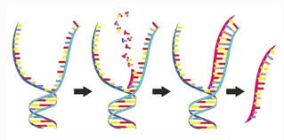 Functions Of Nucleic Acids Dna And Rna Nucleic Acids Whatmaster