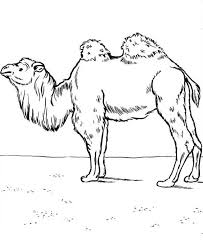 Small Picture Camel Coloring Pages Bestofcoloringcom