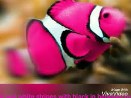 different colored clown fish. Wonderful Clown Different Colors Of Clown Fish With Colored Clown Fish YouTube