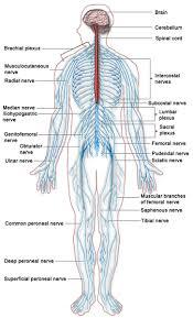 Central Nervous System Vs Peripheral Nervous System Venn Diagram Difference Between Nervous System And Endocrine System L Nervous