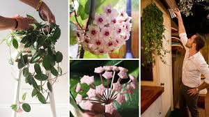 wax plant poetic why the hoya is one part houseplant one part hanging heirloom