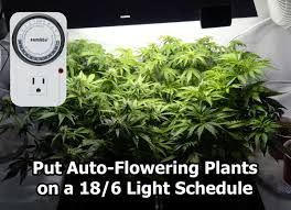 Pot Plant Light Cycle Best Light Schedule For Auto Flowering Strains Grow Weed Easy