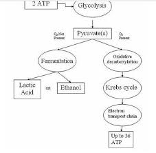 Explain The Steps Involved In Cellular Respiration With The