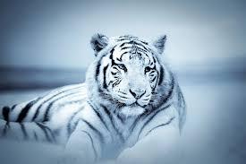 Skleněný Obraz Tygr Bílý Tygr