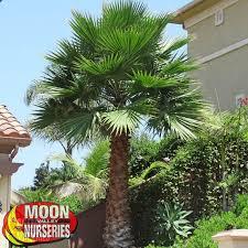 fan palm. mexican fan palm