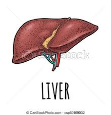 Liver Anatomy Human Anatomy Liver Vector Color Vintage Engraving Illustration