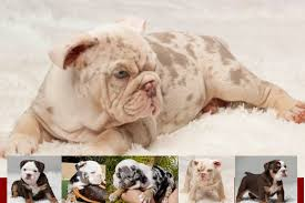 With Flying English Bulldog Colors Different English