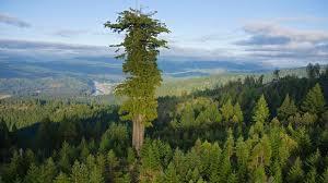 Giant Redwood / Sequoia Trees – tHiNk TwIcE