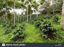 shade grown coffee plantation. Delighful Grown Coffee Bushes In A Shadegrown Organic Coffee Plantation On The Western  Slopes Of For Shade Grown Plantation E