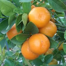 Growing Kumquats FortunellaKumquat Tree Not Bearing Fruit