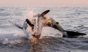 great white shark jumping for seal. Unique Seal Shark Attacks Seal To Great White Jumping For Seal A