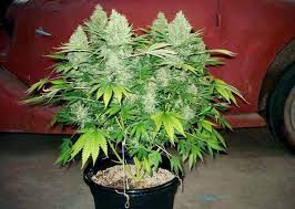 Best Coco Coir Nutrients For Cannabis Grow Weed Easy