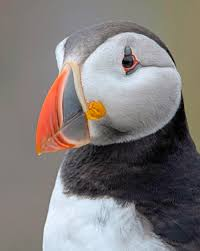 Image result for puffin
