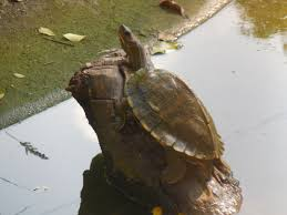 file tortoise at assam state zoological and botanical garden guwahati jpg