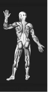 muscular system body used life type chemical form energy  human skeletal muscles posterior view reproduced by permission of photo researchers
