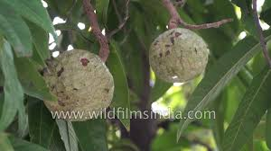 Sugar Apples Annona Squamosa Heartshaped FruitAnnona Fruit Tree
