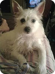 wire hair terrier mix breeds. Plain Breeds Adopted With Wire Hair Terrier Mix Breeds