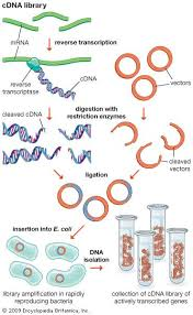 Restriction Enzyme Restriction Enzyme Definition Function Types Britannica Com