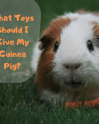 what can guinea pigs eat plus what