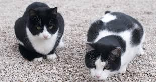 black and white tuxedo cat names