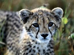 baby cheetah wallpapers group 68
