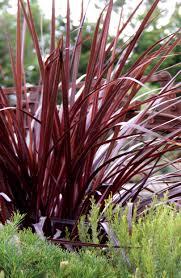 Design A Line Cordyline Kiwi Flora Our Genetics Your Growth Plants
