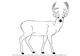 800x566 learn how to draw a buck deer wild s step by step