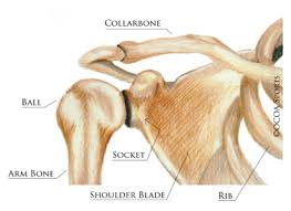 ball and socket joint. as2_1.jpg · as7_2.jpg. the shoulder is a ball and socket joint