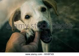 Labrador Retriever With Cropped Ears