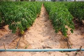 """ให้ """"เทคโนโลยี"""" ดูแล """"มันสำปะหลัง"""" – สถาบันการจัดการเทคโนโลยีและนวัตกรรมเกษตร"""