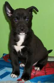 corgi lab mix puppies. Modren Lab Corgi Lab Mix  Kodiak 10455 In Puppies