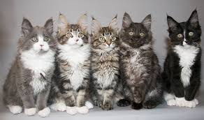 What Are The Most Common Colors Of Maine Coon Cat Mainecoon