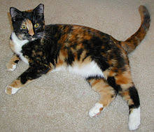 Cat Colors And Patterns Awesome Cat Coat Genetics Wikipedia