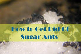 17 natural ways to getting rid of sugar ants in house and kitchen banish them for good