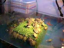 Turtle Vending Machine Inspiration Live Turtles In UFO Catcher Machine YouTube