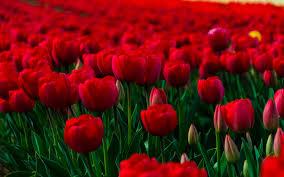 flowers-rose-garden-wallpaper-free-hd ...