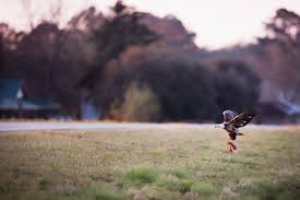 Bald Eagles Eating Chickens at White Oak Farms — Raptor Attacks on ...