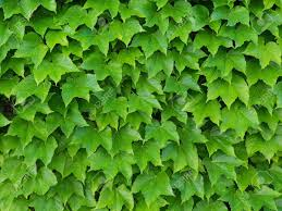 Natural Green Wall Of Ivy Leaves As A ...